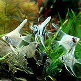 (熱帯魚)ミックス・エンゼルフィッシュ Sサイズ(国産ブリード)(5匹) 本州・四国限定[生体]