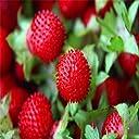 スワンズグリーンフルーツシード盆栽フルーツジャイアントレッドスネークブラックベリー種子おいしいラズベリーガーデン装飾植物20個