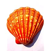 きれいな貝殻  二枚貝 ピクテン オレンジ 磨き加工 シェル マリン