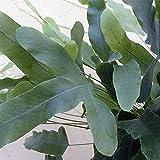 フレポディウム・ブルースター5号鉢植え[ポリポジウム・ブルーグリーンの葉が美しいシダ植物] ノーブランド品