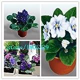 200個/袋、アフリカバイオレットの種子、セントポーリアionantha Wendl、花の種、完全な様々な、出芽率95%、(混合色)