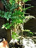 耐寒性常緑樹 シマトネリコ 3号~3,5号ラベル付き苗木3ポットセット