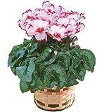 シクラメン ビクトリア 鉢植え フラワーギフト 花 プレゼント 冬ギフト 歳暮 5号鉢