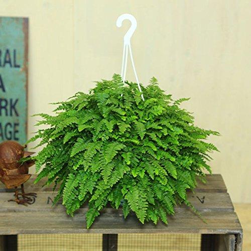 観葉植物 ネフロレピス(タマシダ):ボストンファン*吊り鉢