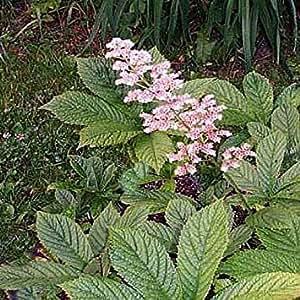 - ヤグルマソウ属Aesculifolia種子