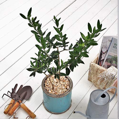 観葉植物「オリーブ2種植え・アンティークポットブルー」 日比谷花壇