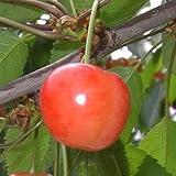 サクランボ 苗木 さおり 13.5cmポット苗 さくらんぼ苗
