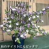 ジャスミンの香り漂う 香りばんまつり (ニオイバンマツリ) 1株 半耐寒性常緑低木