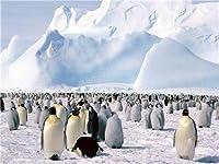 "Emperor Penguin Rookery光沢ポスター写真鳥Snowing Antartica 13""x19"""