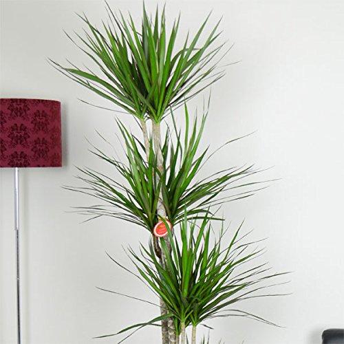 観葉植物:ドラセナ コンシンネ10号カゴ入り ノーブランド品