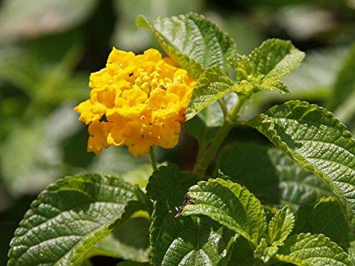 【6か月枯れ保証】【低木】ランタナ/黄色 9.0cmポット