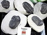 【天然石の島田商事】 モロッコ産 天然化石 三葉虫(Crotalocephalina) 1個【ac-00075】