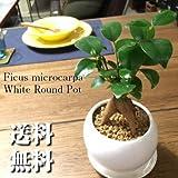 精霊の宿る木★ガジュマル / パーフェクトサークル・ホワイト / Ficus Retusa / Perfect Circle White / インテリア観葉植物 / 鉢植え