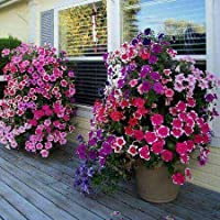 種子パッケージ: あなたより良いホームガードDIYのポットセムをjoymtペチュニアのハンギング盆栽フラワーS Bをミックス200個:スカイ