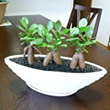 ガジュマル 3本立ち 観葉植物 白 舟形 陶器