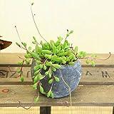 多肉植物・観葉植物:ルビーネックレス*ロゼッタ陶器鉢 受け皿付