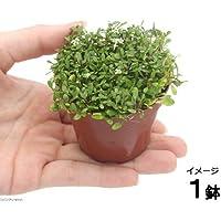 charm(チャーム) (水草)グロッソスティグマ(水上葉) 鉢植え(無農薬)(1鉢) 【生体】