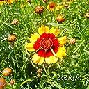 Rare Sanvitalia Procumbens Snake Head Chrysanthemum Seed Red And Orange Edges Flower Seed Natural Growth 50 Pcs