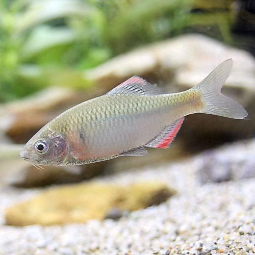 (淡水魚)ヤリタナゴ(4匹) 本州・四国限定[生体]
