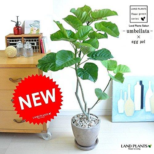 LAND PLANTS 【観葉植物】 ウンベラータ  B06X9KP4YY 1枚目
