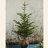 もみの木 (ウラジロモミ) 樹高1.2~1.5m前後 (根鉢含まず)
