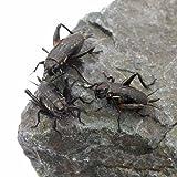 【爬虫類の生き餌まとめ】餌昆虫の特徴とメリット・デメリットを解説 - 【爬虫類の生き餌まとめ】餌昆虫の特徴とメリット・デメリットを解説