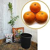 [10月中旬~11月中旬収穫 早生ウンシュウ]ホームフルーツの鉢栽培セット:温州みかん 宮川早生* ノーブランド品