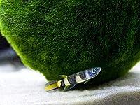 【熱帯魚・卵生メダカ】 エピプラティス・アニュレータス ■サイズ:2cm± ※東南ファーム (5匹)