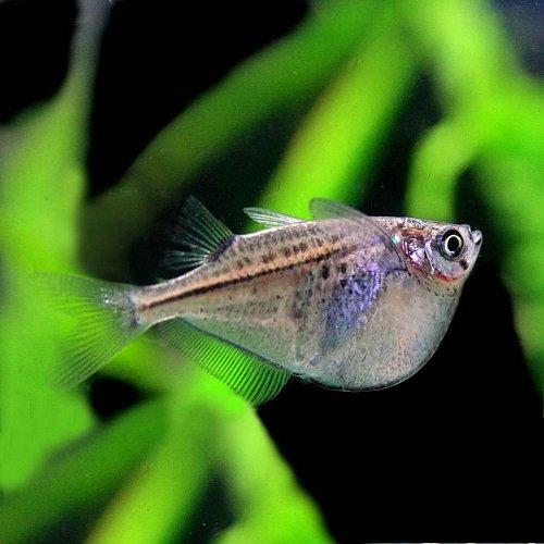 (熱帯魚)シルバーハチェット(約2cm)<2匹>[生体]