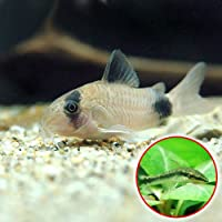 (熱帯魚)コリドラス・パンダ(6匹) + オトシンクルス(3匹) 本州・四国限定[生体]