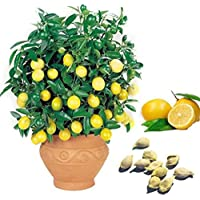 TOPmountain レモン種子 10個 ガーデン植物果物種子盆栽 盆栽ツリーホームパーティーの装飾