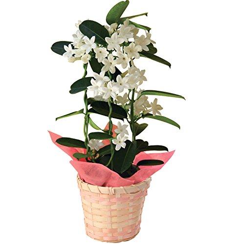 マダガスカルジャスミン フラワーギフト 花鉢 母の日ギフト