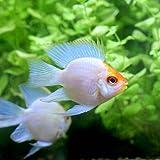 (熱帯魚)ゴールデンバルーンブルーダイヤモンド・ラミレジィ(1匹) 本州・四国限定[生体]