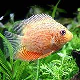 (熱帯魚)レッドスポットゴールデン・セベラム(1匹) 本州・四国限定[生体]