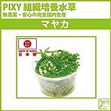 PIXY組織培養水草 マヤカ(無農薬、無菌、害虫無しの国内生産) …