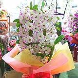 Amazon.co.jpデンドロビューム ピンク6号鉢植え「白ピンクに赤紫リップ」お祝い・誕生日、退職・昇進・昇格などお祝い花