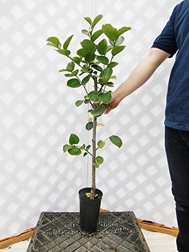 柿 平核無 樹高1.0m程度 2年生苗