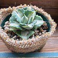 入荷 大人気のアガベ 王妃雷神白中斑 幸せを呼ぶ おしゃれプランツ マニアに人気 多肉植物