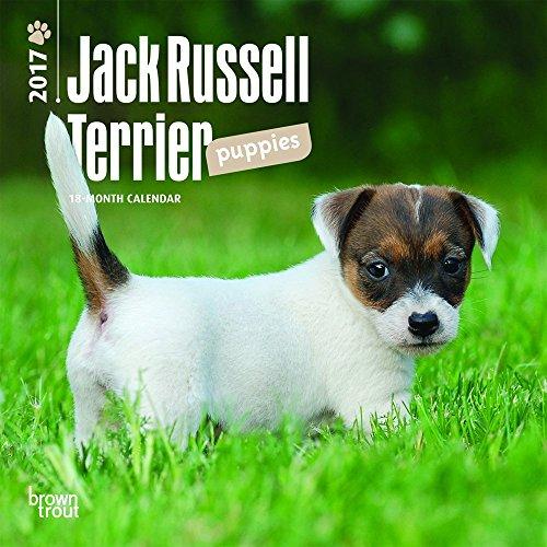 Jack Russell Terrier Puppies 2017 Calendar