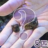 (海水魚 貝 無脊椎)ミニサザエ ミックス(5匹) 本州・四国限定[生体]