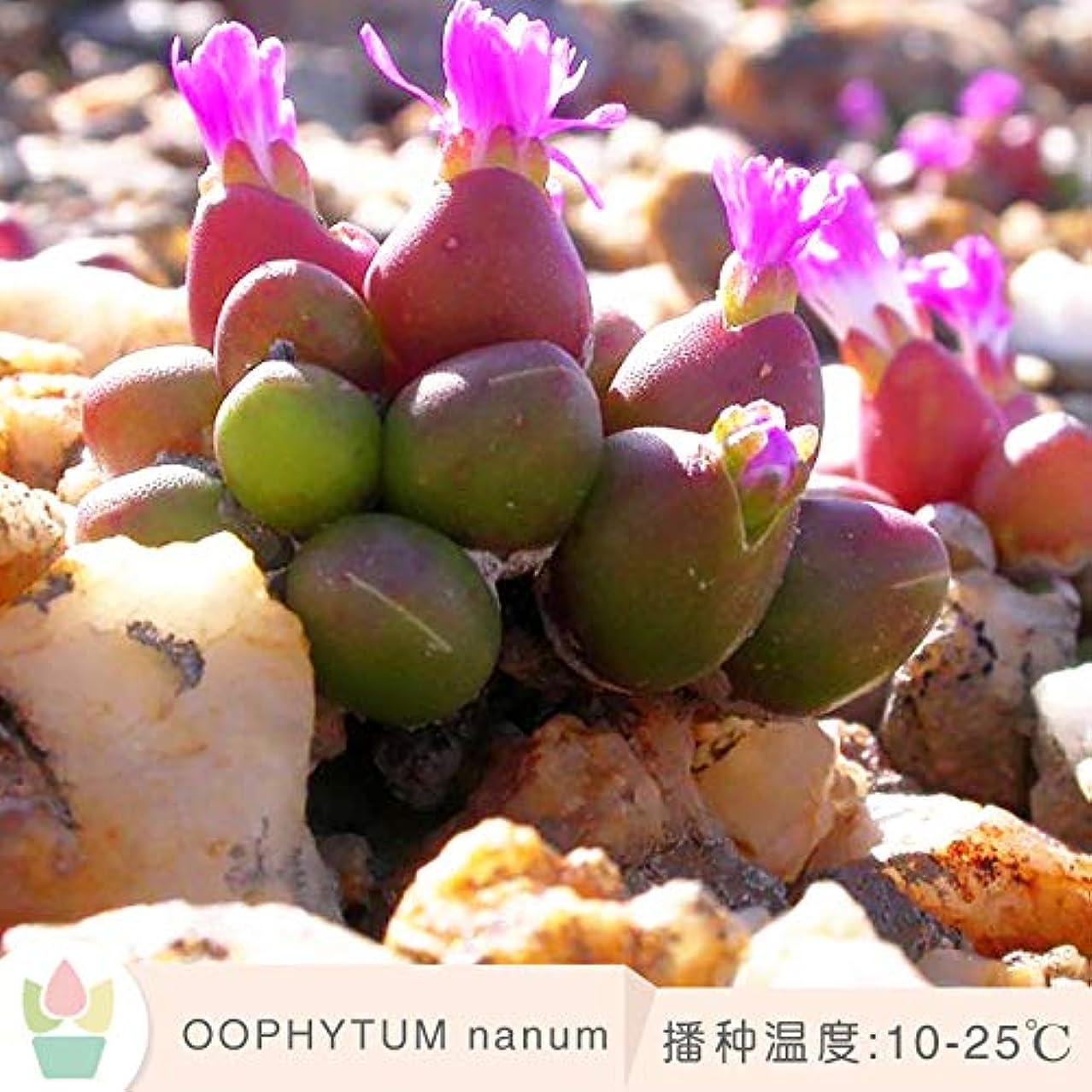 怪しい枯渇思想OOPHYTUM nanum クルミの種子マルチミートパンアプリコット科アフリカクルミの生石の花のコーン 20 粒