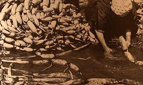 れんこん 1kg 門真レンコン 代々の蓮根農家辻他さんが精魂込めて作った昔ながらの手掘りレンコン