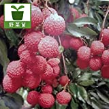 ライチ(レイシ):6号ポット[楊貴妃がこのんだと言われるおいしいフルーツの苗木][果樹苗] ノーブランド品