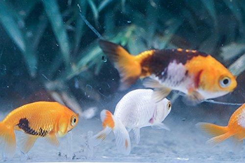 Sinbad (シンドバッド) (金魚)更紗 らんちゅう 3匹セット(生体)