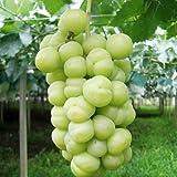 ぶどう 苗木 瀬戸ジャイアンツ 12cmポット苗 ブドウ苗 葡萄
