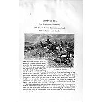自然史 1894 の TREK のスプリングボックの頭部のガゼル動物