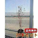 【ノーブランド品】 ビルベリー 樹高0.2m前後 9cmポット 【20本セット】