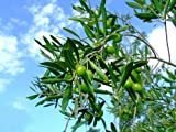 【葉や形を楽しむ木】オリーブ 0.2m