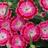 わい性ナデシコ:オリビアローズアイ3号ポット2株セット[草丈10cmで大輪の花が長く咲く!] ノーブランド品