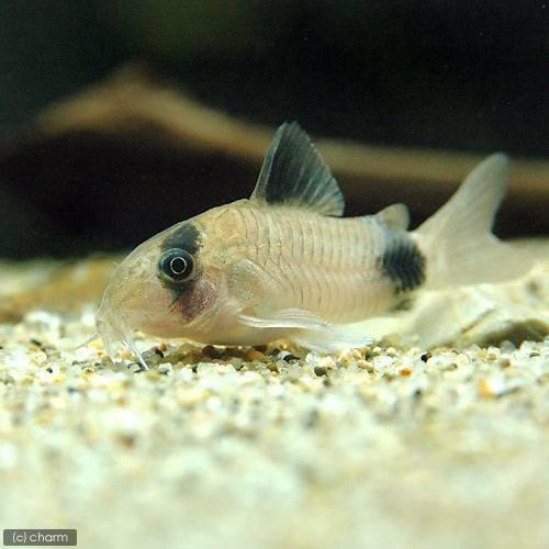 (熱帯魚)お一人様1点限り コリドラス・パンダ(5匹) 本州・四国限定[生体]